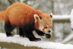 Red panda. The red panda in snow Stock Images