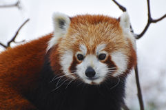 Red Panda. Standing on a Tree branch stock photos