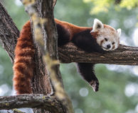 Red panda. Resting on a tree stock photos