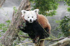 Red Panda. Sitting in a tree Stock Photography