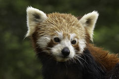 Red Panda. The IUCN classify red pandas as Endangered, and they are on CITES: Appendix I. They are protected in Nepal and China. Habitat loss is thought to be Royalty Free Stock Photo