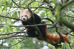 Red panda. In a tree Royalty Free Stock Photos