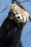 Red Panda. Cute Red Panda eating bamboo Royalty Free Stock Photo