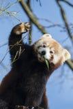 Red Panda. Cute Red Panda eating bamboo Stock Photo