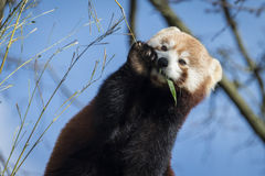 Red Panda. Cute Red Panda eating bamboo Stock Photography