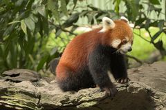 Red Panda. Endangered Royalty Free Stock Image