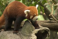 Red Panda. Little Red Panda, Endangered Animal Stock Photography
