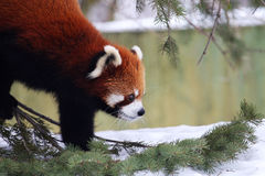 Red panda. This litter red panda is looking for something on the snow royalty free stock images