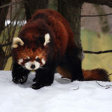 Red panda. The little red panda is seeking something royalty free stock image