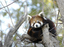 Red Panda. Sitting in the top of a tree royalty free stock photography