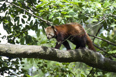 Red Panda. The Red Panda or Lesser Panda, Ailurus fulgens (shining cat), is a mostly herbivorous mammal, specialized as a bamboo feeder. It is slightly larger Royalty Free Stock Image