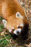 Red panda. Picture of the red panda Royalty Free Stock Images