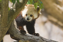 Red Panda. Captured on a tree Royalty Free Stock Photos