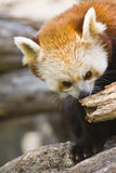 Red Panda. Captured on a log royalty free stock image