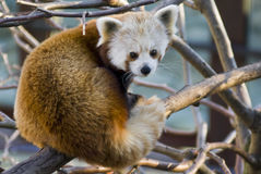 Red Panda. Captured on a tree limb stock image