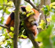 Red Panda Stock Photography