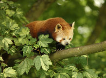 Red Panda. Appearing out of a tree Royalty Free Stock Image