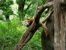 Red Panda. A red panda on a treetop staring at me stock image