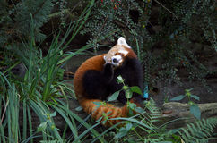 Red panda in action Stock Photography