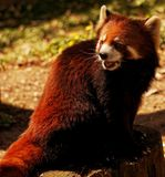 Red panda. Active red panda at a zoo sitting on a stump Royalty Free Stock Image