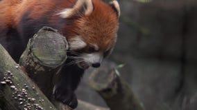 Red Panda Ailurus fulgenes su Tree Branch Animale in pericolo dell'Asia archivi video