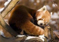 Red panda (Ailurus fulgens). Sleeping Royalty Free Stock Photography