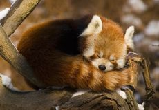 Red panda (Ailurus fulgens) royalty free stock image