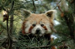 Red Panda (Ailurus fulgens). Face of a Red Panda in Copenhagen Zoo, Denmark stock photo