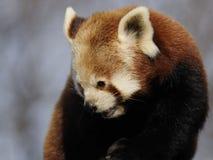 Red Panda (Ailurus fulgens) Stock Image