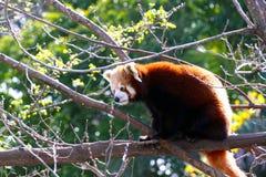 Red Panda - Ailurus fulgens. Red Panda sitting in Tree - Ailurus fulgens Stock Photography