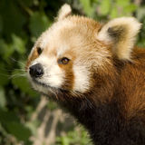 Red Panda - Ailurus fulgens Royalty Free Stock Image
