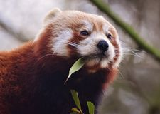 Red Panda Ailurus fulgens. The red panda Ailurus fulgens, also called the red bear-cat, is a mammal native to the eastern Himalayas and southwestern China Stock Images