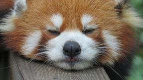 Red panda close up royalty free stock photos