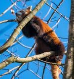 The red panda, Ailurus fulgens, also called the lesser panda. stock photo