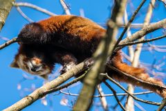 The red panda, Ailurus fulgens, also called the lesser panda. stock photo