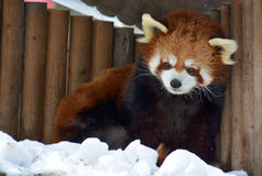 The red panda Stock Image