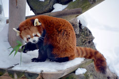 The red panda Stock Photos