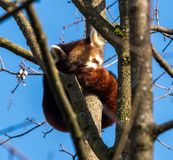 The red panda, Ailurus fulgens, also called the lesser panda. royalty free stock image