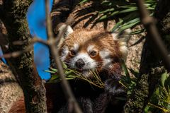 The red panda, Ailurus fulgens, also called the lesser panda. stock photos
