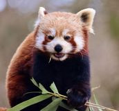 Red Panda Ailurus fulgens. The red panda Ailurus fulgens, also called the red bear-cat, is a mammal native to the eastern Himalayas and southwestern China Royalty Free Stock Photography