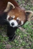 Red panda Ailurus fulgens, also known as Lesser Panda Royalty Free Stock Photo