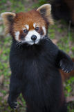 Red panda Ailurus fulgens, also known as Lesser Panda Royalty Free Stock Images