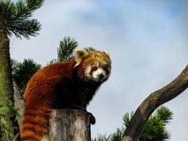 Red Panda Ailurus fulgens, also known as Lesser Panda, Red Bea. R-Cat, and Red Cat-Bear, resting on a tree Royalty Free Stock Photography