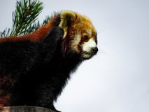 Red Panda Ailurus fulgens, also known as Lesser Panda, Red Bea. R-Cat, and Red Cat-Bear, scratching its ear Stock Images