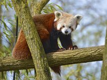 Red panda on branch Royalty Free Stock Photo