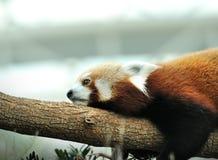 Red Panda (Ailurus fulgens) Royalty Free Stock Images
