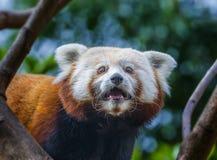 Red panda - Ailurus fulgens Stock Image
