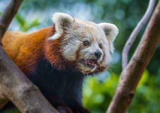 Red panda - Ailurus fulgens Royalty Free Stock Photo