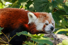 Red panda (Ailurus fulgens). Close-up of a red panda (firefox Stock Photography