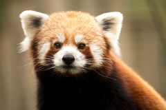 Red panda (Ailurus fulgens) Royalty Free Stock Images